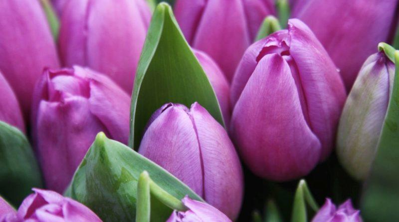 tulipani, lukovice, sadnja lukovica